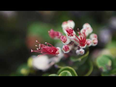 saving-ohia----the-keystone-of-hawaii's-forests
