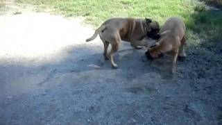 The owners voice is a voice of God for bullmastiffs ! 111027.mp4.