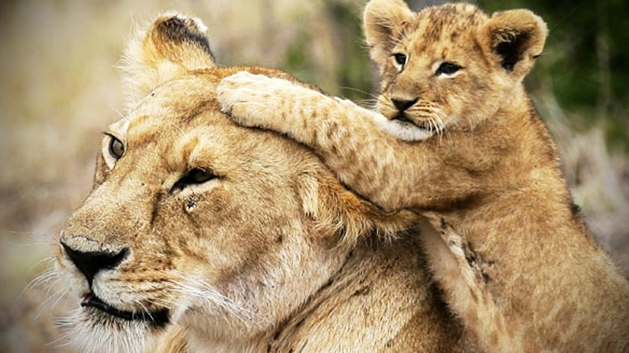 Lion Cubs Are Amazing Cute Baby Lions Funny Pets Youtube
