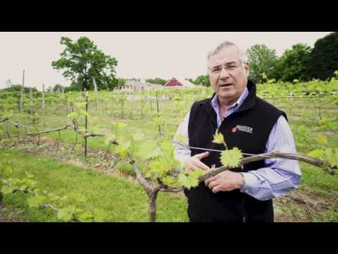 Between The Vines - The Chambourcin Grape