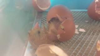 Copy of Chick hatching
