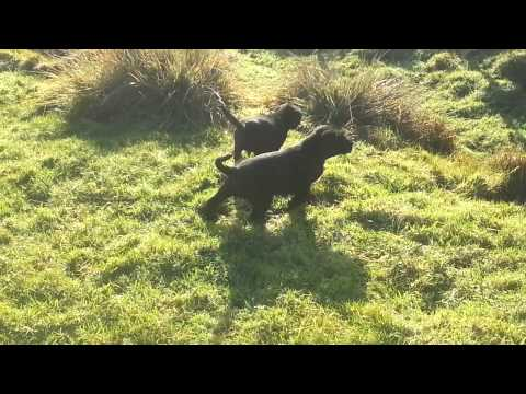 Labrador x German wirehaired pointers