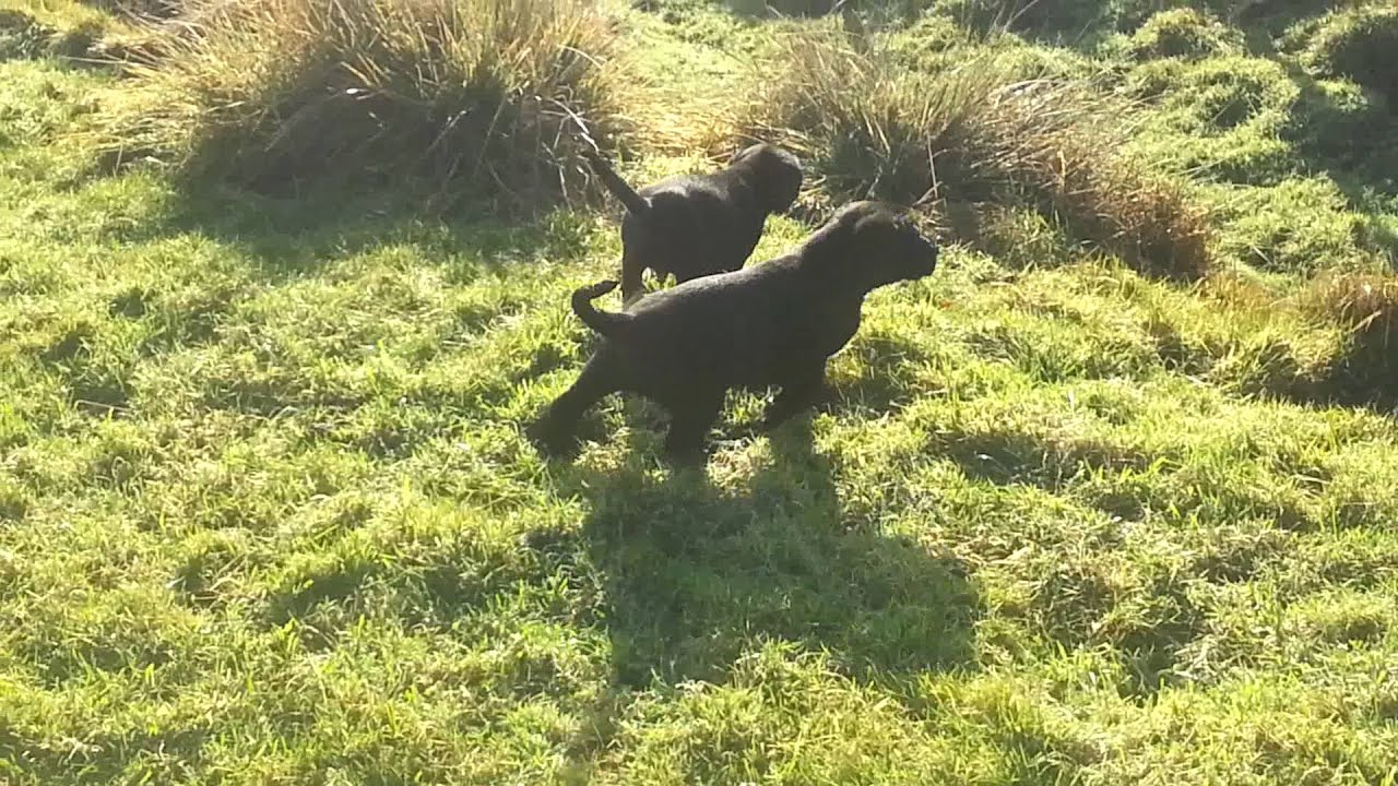 Labrador x German wirehaired pointers - YouTube