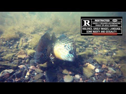 Breeding Behavior Of Pumpkin Seed Sunfish