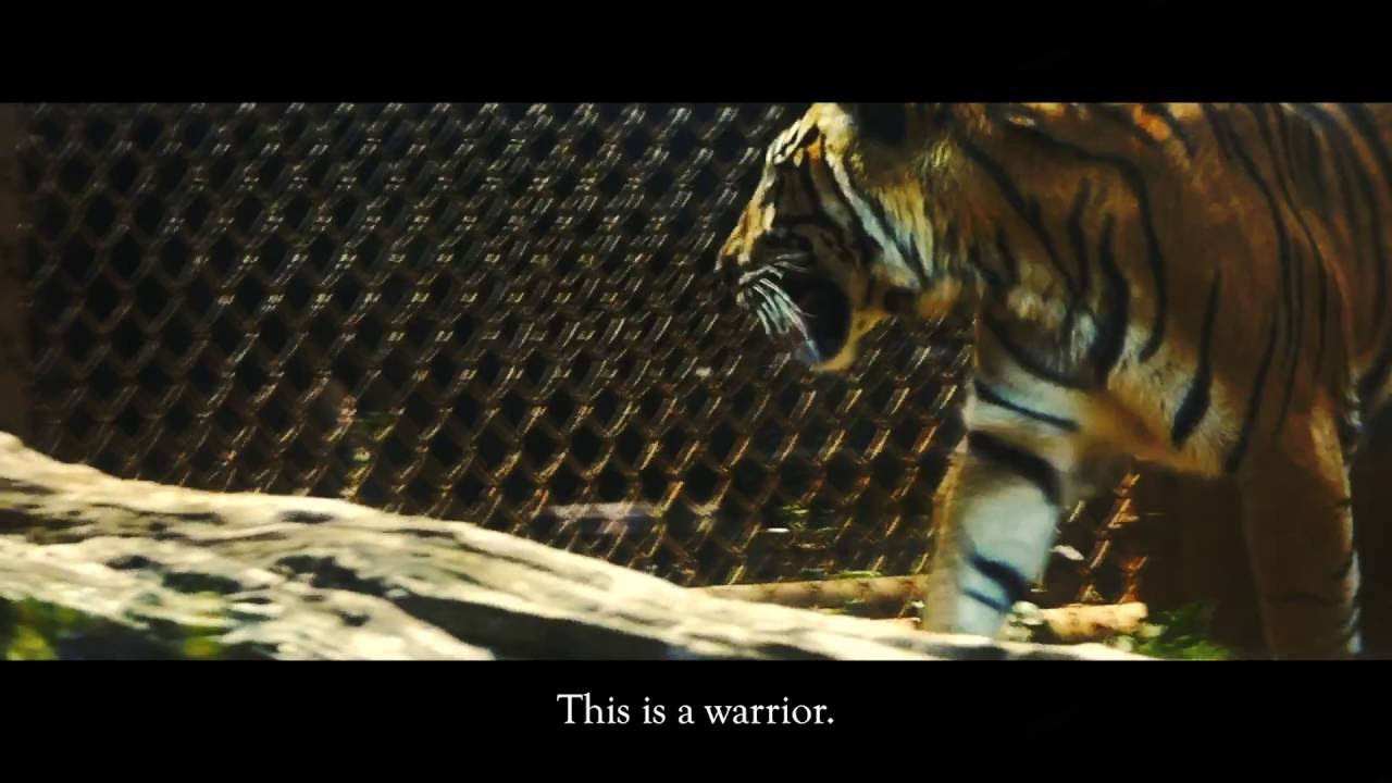 the tiger a video essay the tiger a video essay