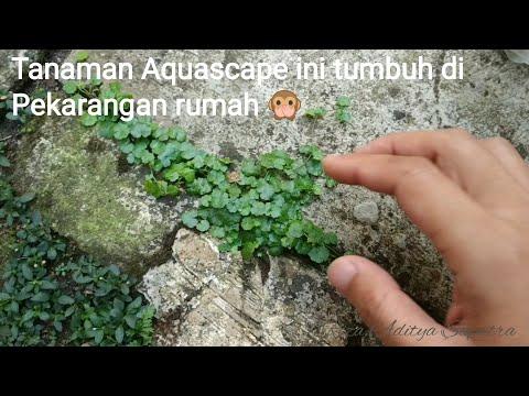 Tanaman Aquascape Hydrokotil Tumbuh Di Sekitar Rumah
