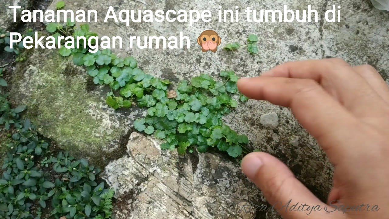 Tanaman Aquascape Hydrokotil Tumbuh Di Sekitar Rumah Cute766