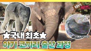 [TV 동물농장 레전드] '국내 최초 공개! 아기 코끼리 출산' 풀버전 다시보기 I TV동물농장 (Anima…