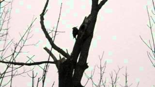 Pileated Woodpecker Making Home On Tr Property Area