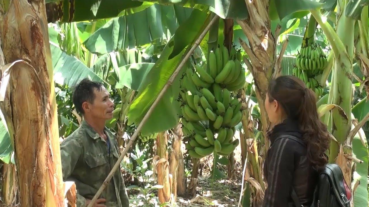 Người dân Đắk Lắk không thể xuất khẩu giống chuối Nam Mỹ