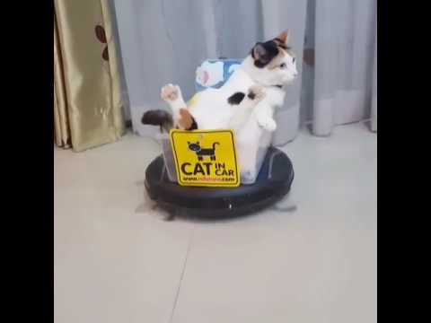 Tembellikte Çıtayı Zorlayan Keyif Düşkünü Kedi