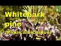Pine Tree identification Whitebark Pine (Pinus albicaulis) White pine Pitch pine or Scrub pine. uk