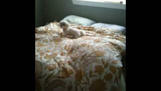 Jumping White Maltese Puppy Playing On Bed