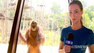 The Smiling Orangutan (Courtesy: Channel Nine News)