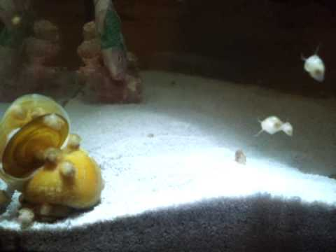 dead gold apple snail and baby snails youtube