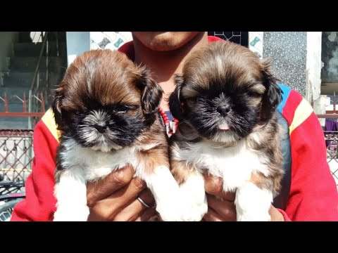 Very cute Lhasa apso puppies available to sale