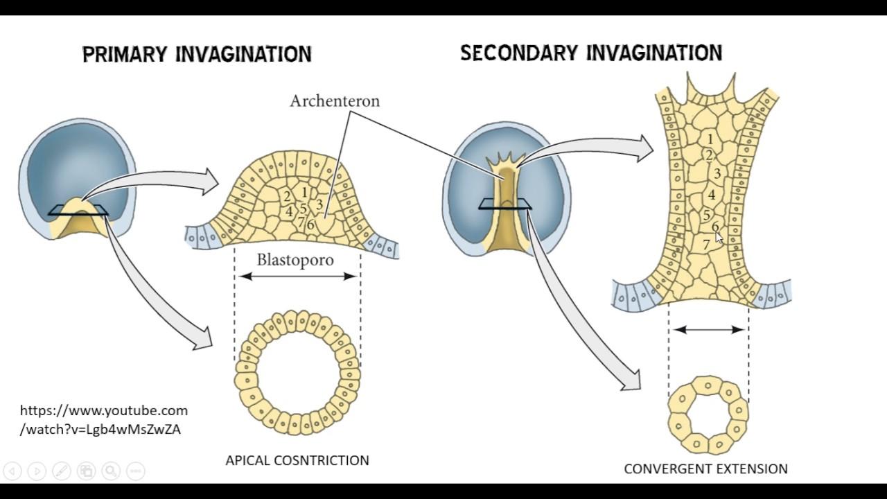 03c Sea Urchin Gastrulation and 04 Morphogens and Drosophila - YouTube