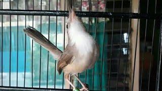 Download Video Suara burung Ciblek sawah gacor ciamik ngebren rapet masteran ampuh MP3 3GP MP4