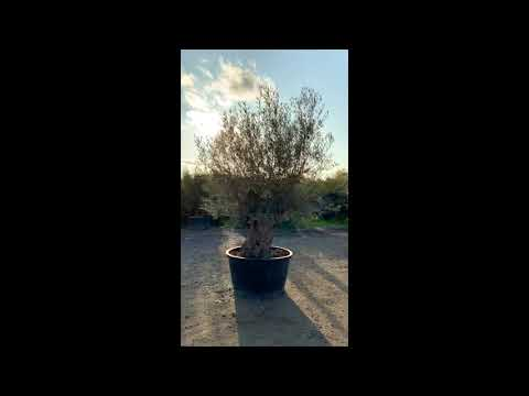 w38-ancient-gnarled-olive-tree-sutton-manor-nursery
