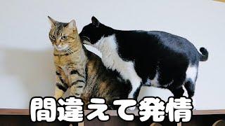数年前に去勢した猫が発情!?