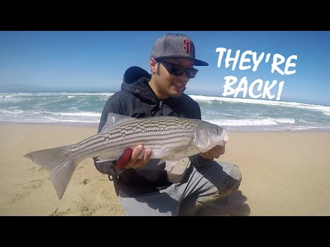 FINALLY! First Surf Striper, On A Lure, On Film