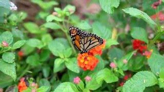 The King of Butterflies – The Monarch Butterflies