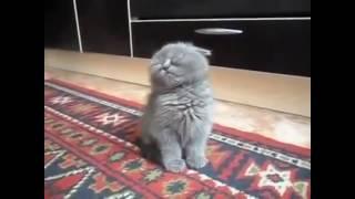 Очень очень сонный котёнок