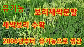 유기농 새싹보리 수확합니다.흙에 심어서 월동하고 자란 …