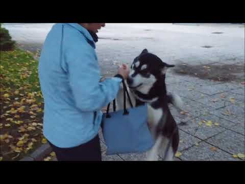 Alaskan Malamute patiently waits for her hu-mum at the bus stop