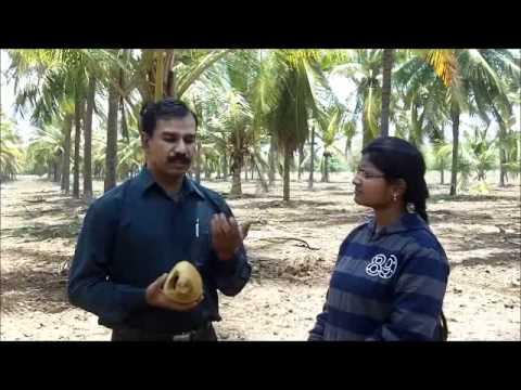 Control of rat and squirrel damage in coconut Kannada BAIF Karnataka