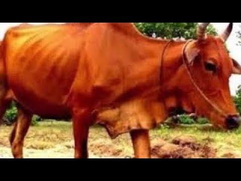 Веселая корова -