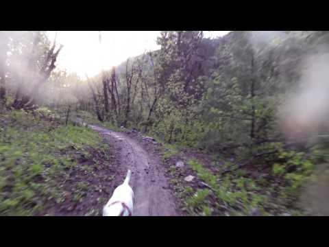 Porsche the Jack Russell Terrier trail running