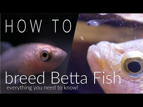 How To Breed Betta Fish Step By Step