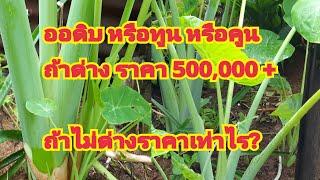 ออดิบ หรือทูน หรือคูน หรือตูน ด่างราคา 500,000+ บาท ถ้าไม่ด่างราคาเท่าไร?