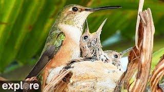 Bella Diamond Hummingbird