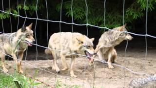 Wataha wilków szarych, Polska, gray wolf, perfect predators