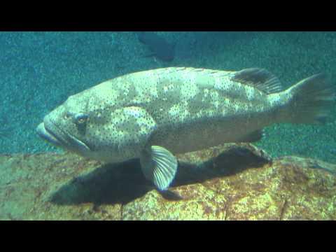 ヤイトハタ(灸羽太) Malabar grouper