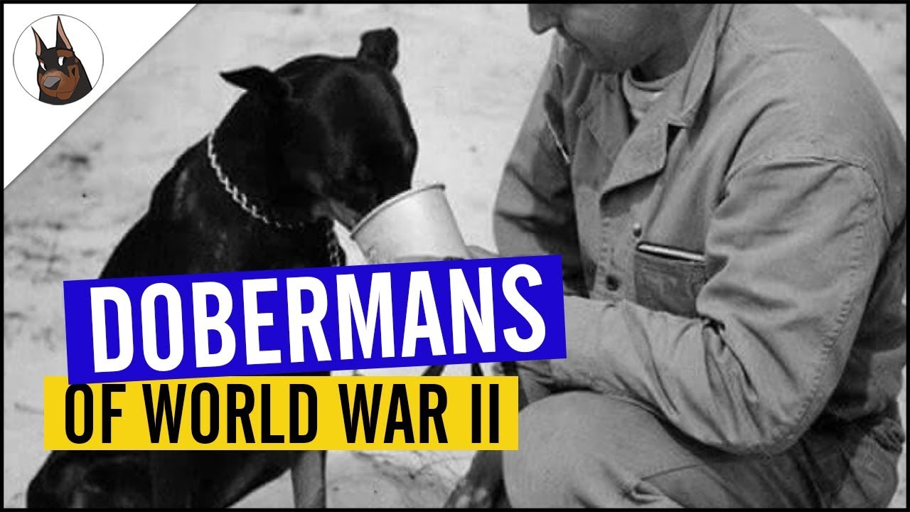Dobermans Of The Pacific Wwii With Usmc Letter Of Commendation