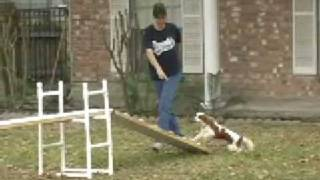 Cavalier King Charles Spaniel Puppy Begins Agility Training