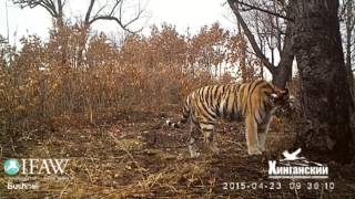 Siberian tigress Ilona captured on camera a year after release - Part II