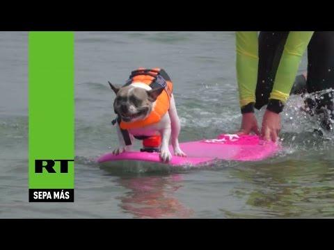 Perros 'surferos' se suben a las olas