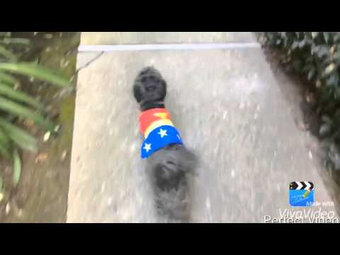 Wonder Woman dog/cat costume/outfit