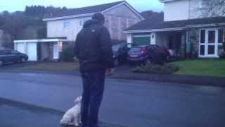 Initial Road Sense Training For 9 Week Old Labrador Puppy