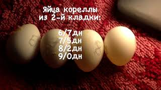 Просвечиваю яйца кореллы. Шевелится эмбрион птенца попугая. Две кладки яиц у корелл АСМР тихий голос