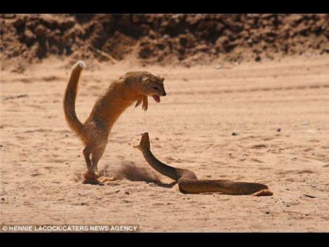Nevla vs Snake