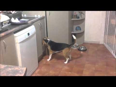 Beagle steals food