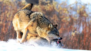 Хищники Беловежской пущи - волк, рысь, медведь