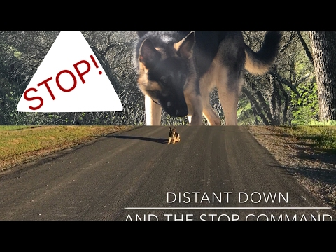 Dog Safety LifeSaving Commands German Shepherd GSD Kara Batilo recall come here stop down training