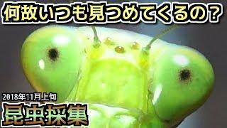 【カマキリ・ハリガネムシ】昆虫採集 2018年11月上旬 「単眼・複眼・偽瞳孔」