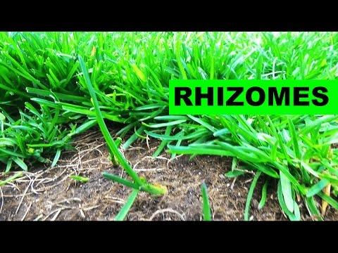 Elite Kentucky Bluegrass Rhizomes